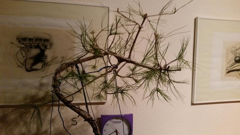 despues de mis fracasos continuo con un nuevo pino (silvestre) - Página 2 20170410