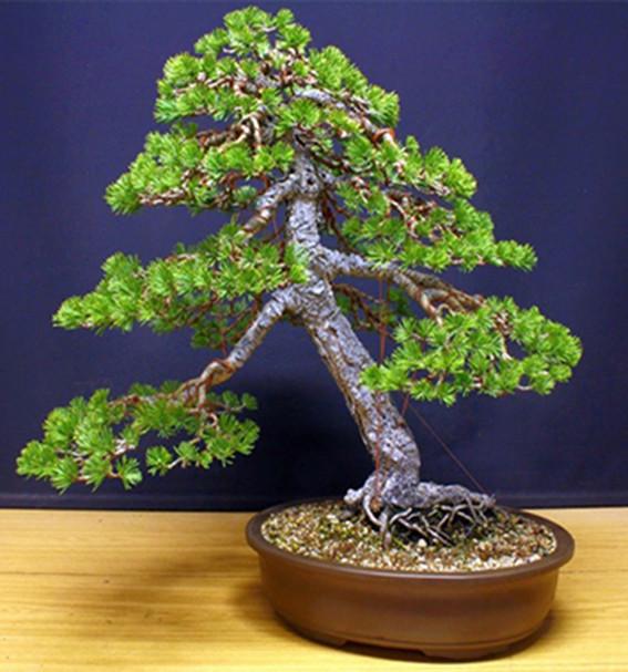 pretutorial para crear un bonsai de pino Correj26