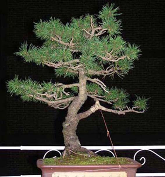 pretutorial para crear un bonsai de pino Correj27