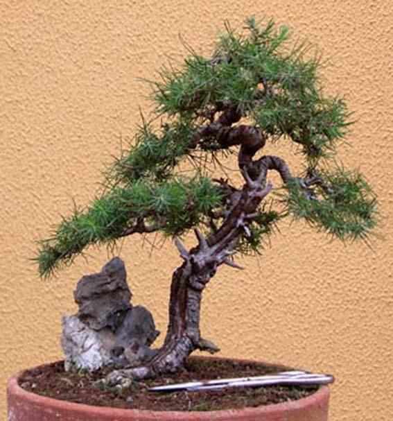 pretutorial para crear un bonsai de pino Correj28