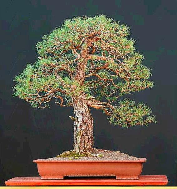 pretutorial para crear un bonsai de pino Correj31