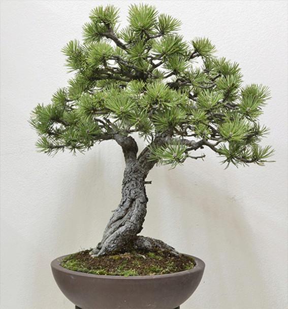 pretutorial para crear un bonsai de pino Correj32