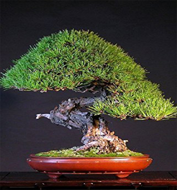 pretutorial para crear un bonsai de pino Correj33