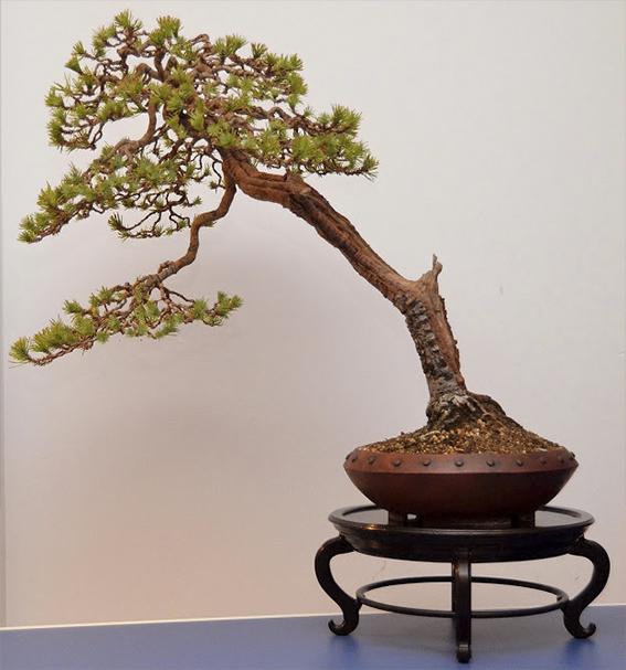 pretutorial para crear un bonsai de pino Correj34
