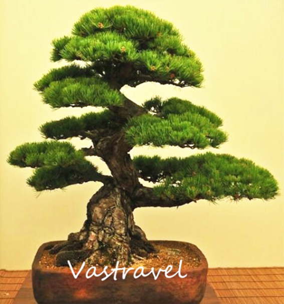 pretutorial para crear un bonsai de pino Correj35