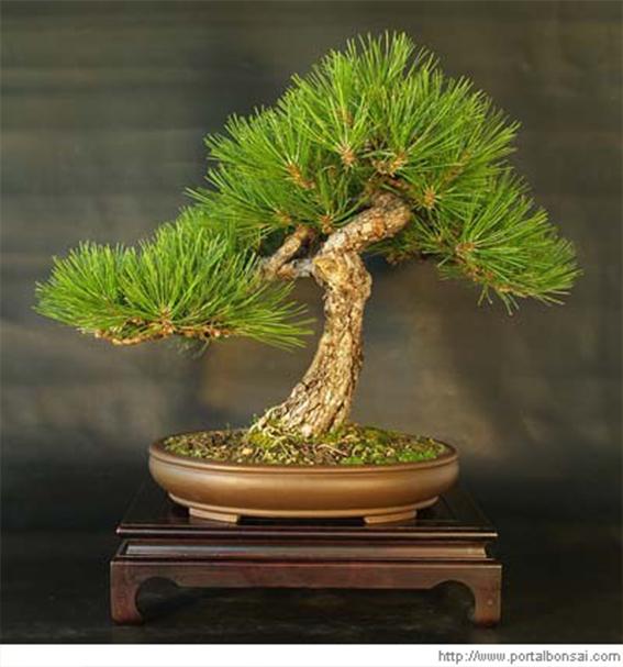 pretutorial para crear un bonsai de pino Correj36