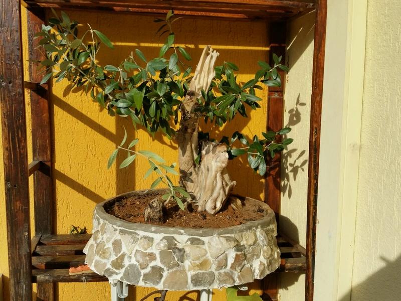 esqueje de tronco de olivo Img_2012