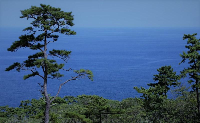 pretutorial para crear un bonsai de pino Pinus_13
