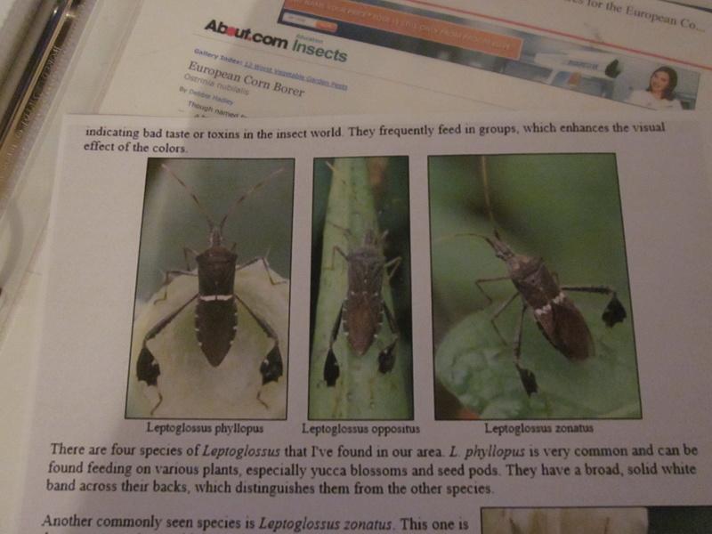 Leaf-Footed bugs Img_2627