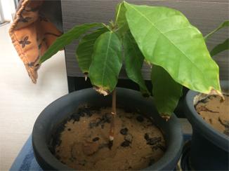 Du Cacao dans les Landes Cacaoy10