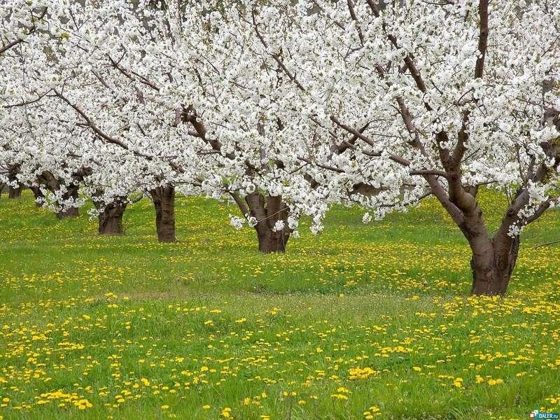 Ритуал пробуждения силы деревьев в саду Cvetys10