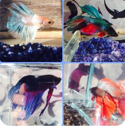 Mes poissons :) Fullsi10