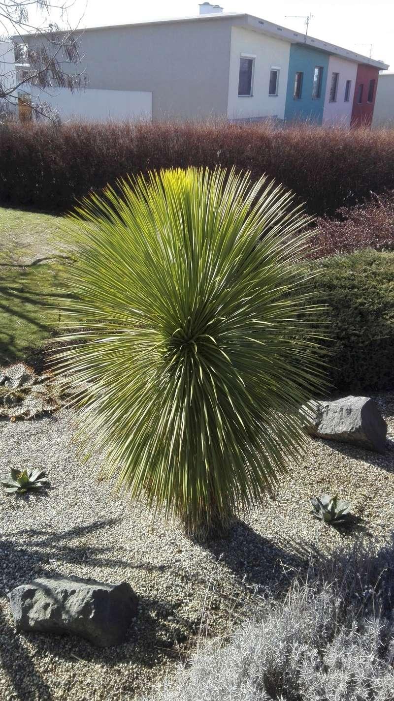 Mrazuodolné juky - rod Yucca - Stránka 10 Rostra10