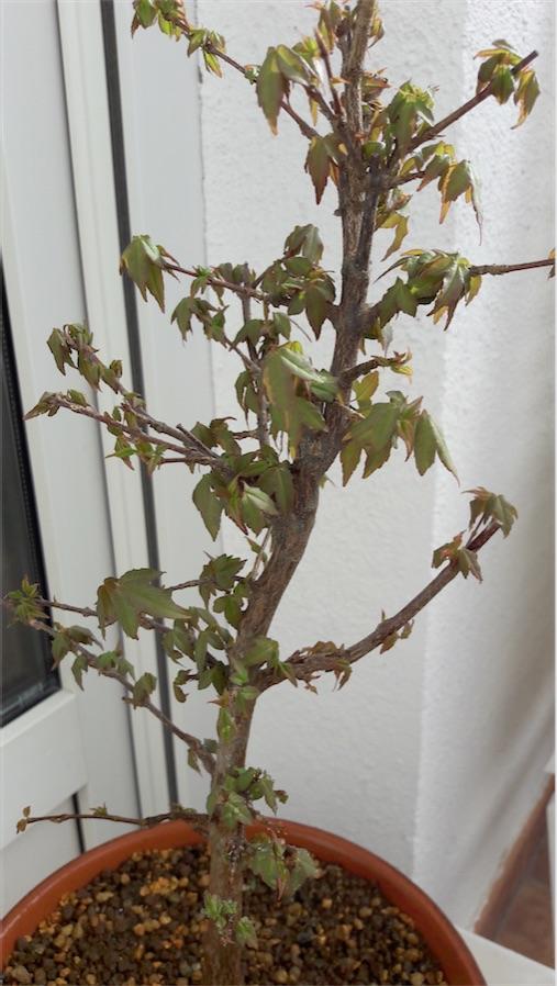Arce hojas mustias. Ayuda Arce10