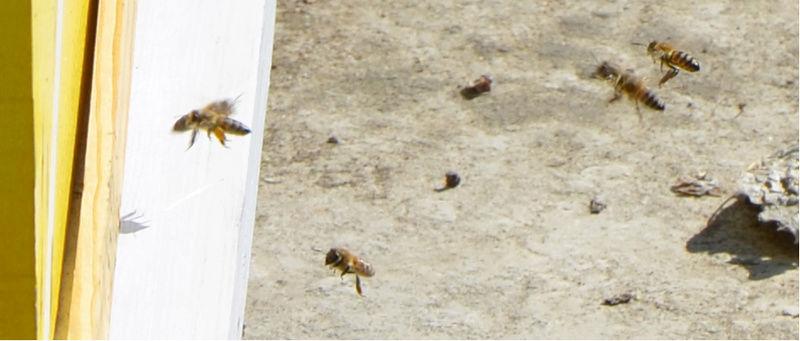2 μελισσακια για ξεκίνημα  Gyres10