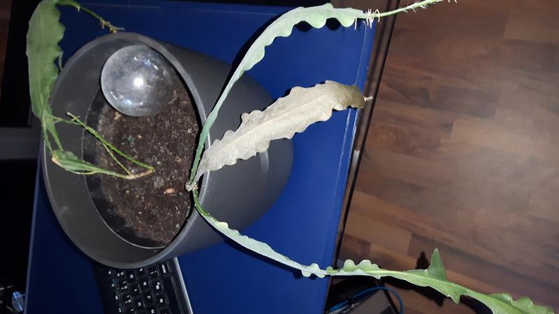 Epi verändert seine Blätter 20170212