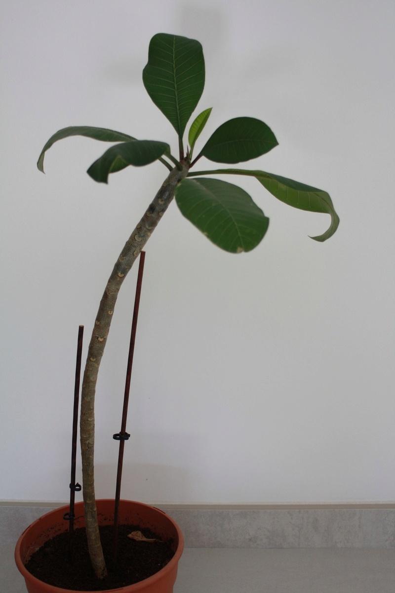 Plumeria maigrelet Img_1810