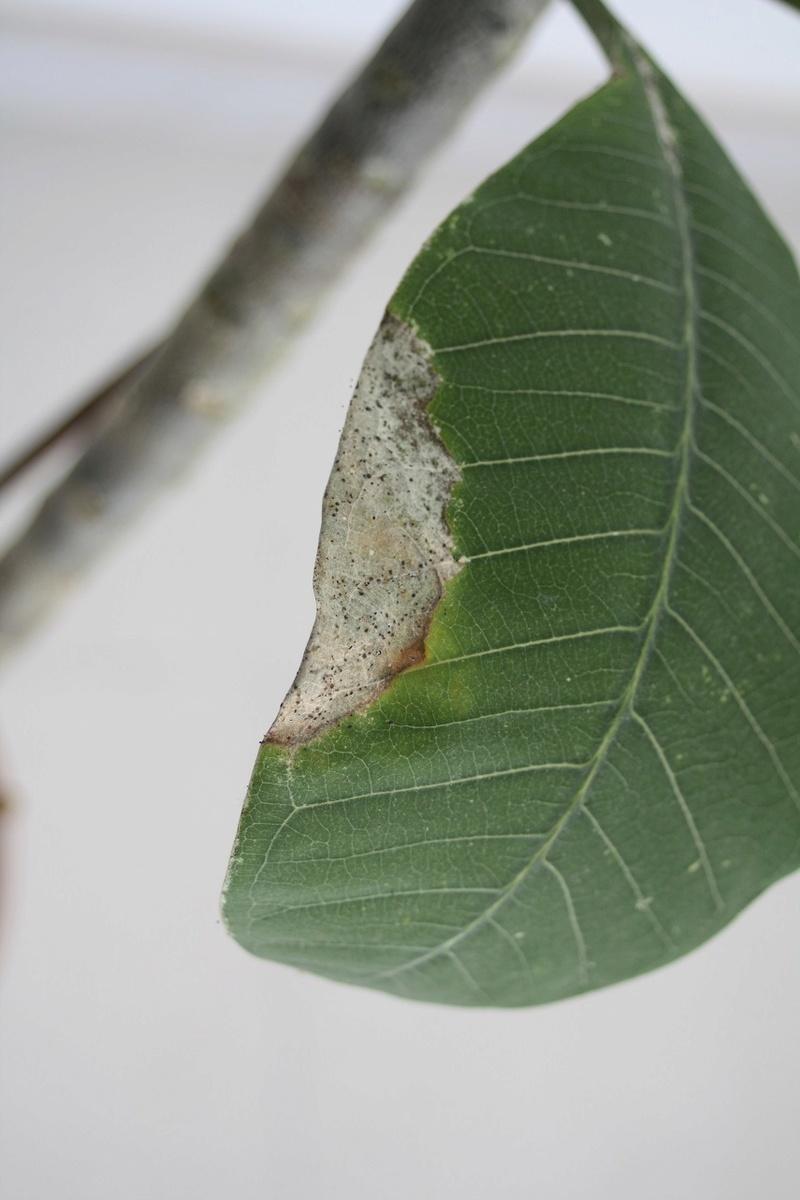 Plumeria maigrelet Img_1811