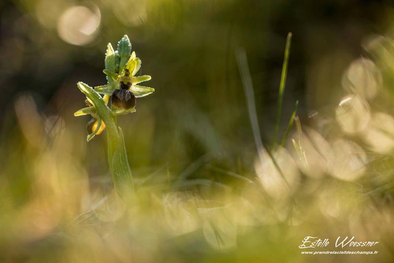 Barlia à Bourg les Valence Ophrys10