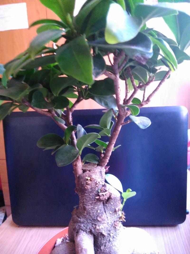 Mi Ficus Ginseng Whatsa11