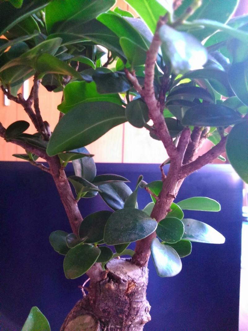 Mi Ficus Ginseng Whatsa12