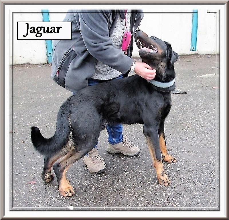 Jaguar beauceron LOF Lignée chien de travail, né en 2014 Jaguar10