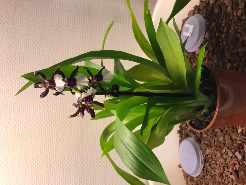 05 orchidées à identifier  Img_0169