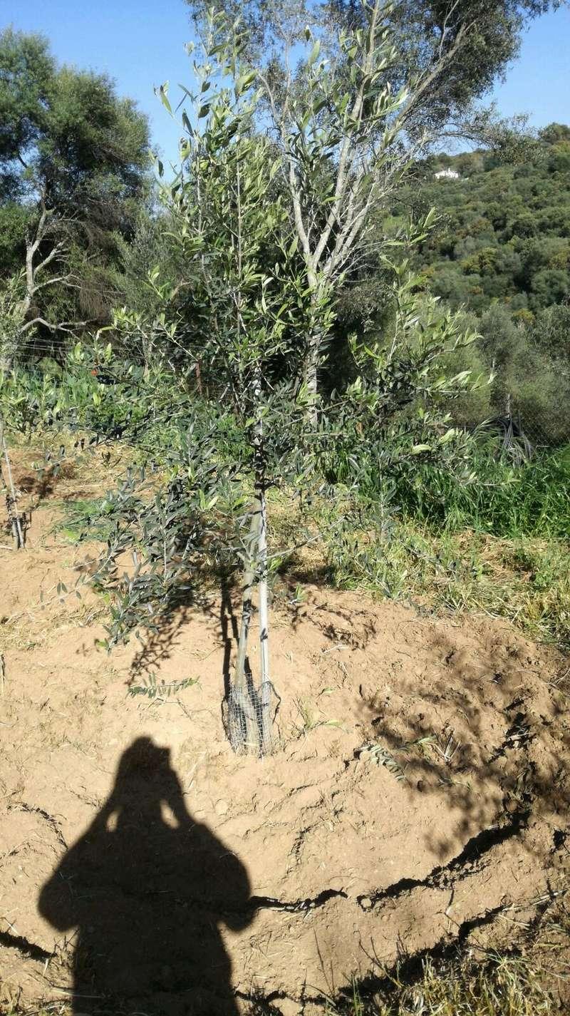 Crecimiento de plantones olivo - Página 10 05eab710