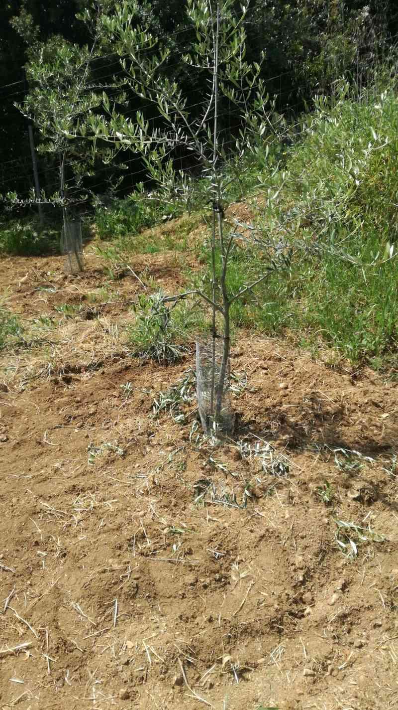 Crecimiento de plantones olivo - Página 10 1f036d11