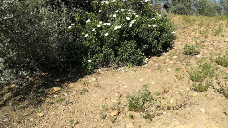 Malas hierbas difíciles en el olivar: margaritas - Página 2 2017-011