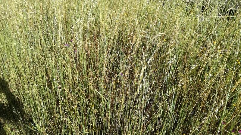 Malas hierbas difíciles en el olivar: margaritas - Página 2 2017-015