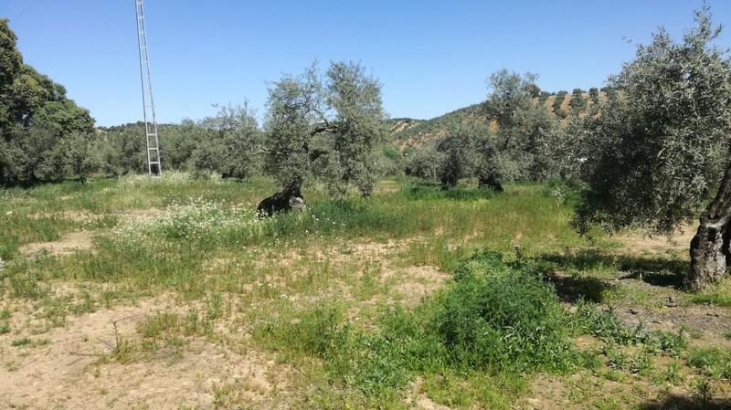 Malas hierbas difíciles en el olivar: margaritas - Página 2 2017-018