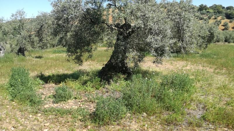 Malas hierbas difíciles en el olivar: margaritas - Página 2 2017-019