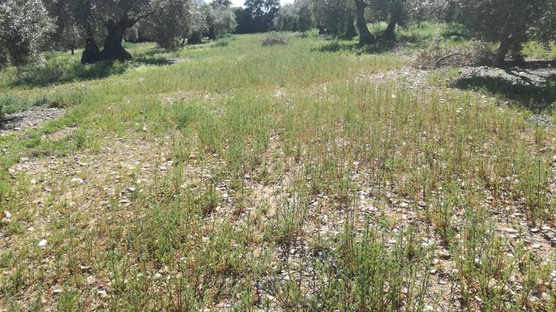 Malas hierbas difíciles en el olivar: margaritas - Página 2 2017-020