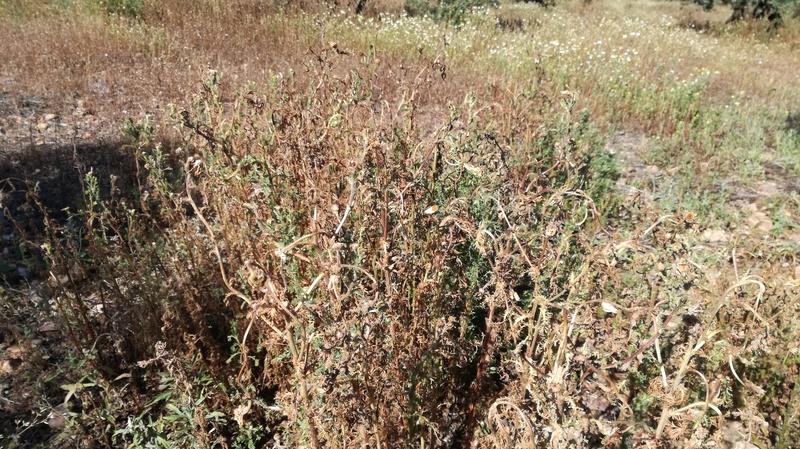 Malas hierbas difíciles en el olivar: margaritas - Página 2 2017-027