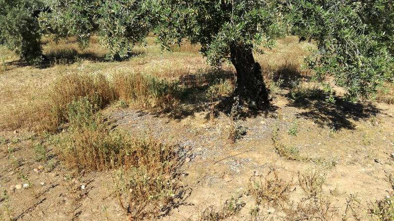 Malas hierbas difíciles en el olivar: margaritas - Página 2 2017-029