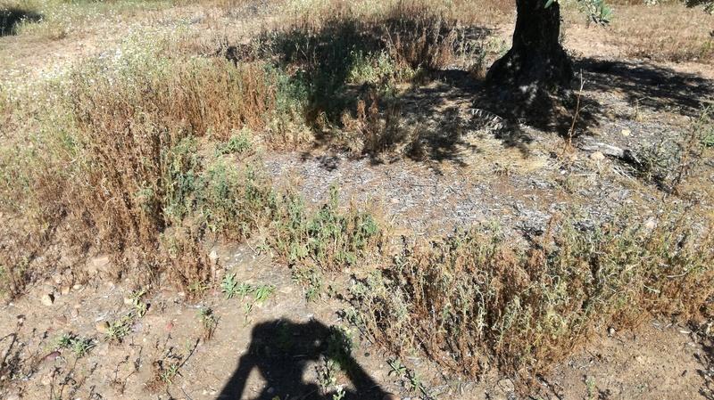 Malas hierbas difíciles en el olivar: margaritas - Página 2 2017-030