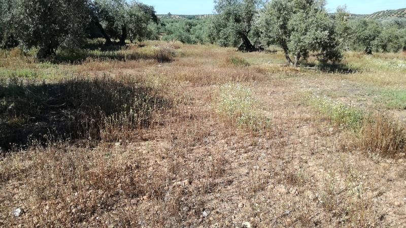 Malas hierbas difíciles en el olivar: margaritas - Página 2 2017-031