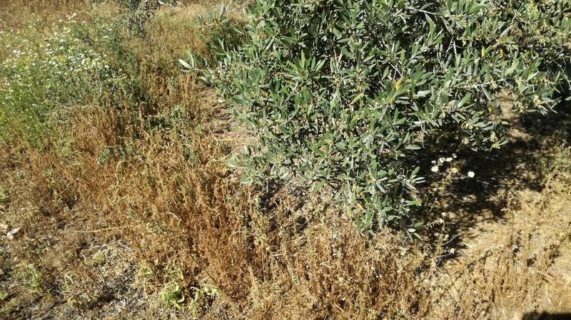 Malas hierbas difíciles en el olivar: margaritas - Página 2 2017-032