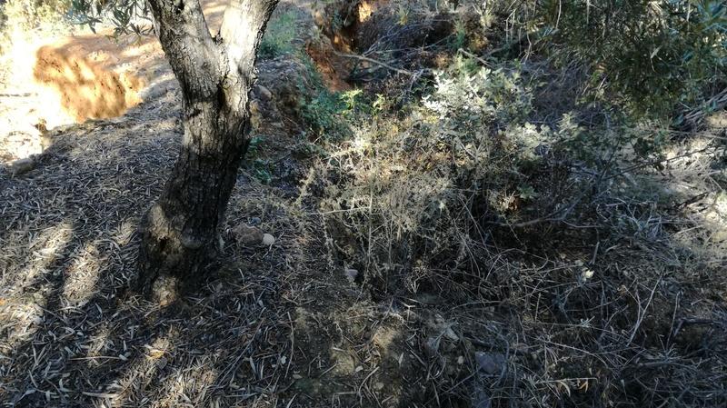 Malas hierbas difíciles en el olivar: margaritas - Página 2 2017-034