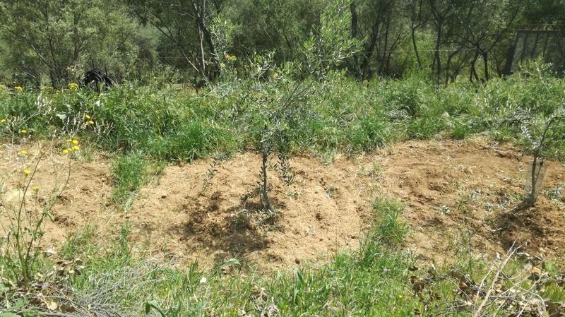 Crecimiento de plantones olivo - Página 10 315bae10