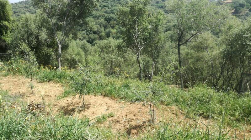Crecimiento de plantones olivo - Página 10 4f495310