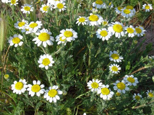 Malas hierbas difíciles en el olivar: margaritas - Página 2 Anacyc10