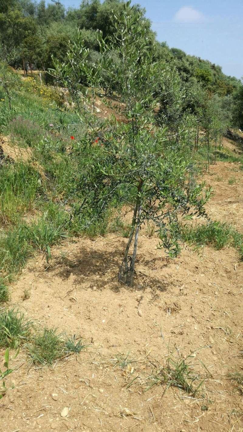 Crecimiento de plantones olivo - Página 10 D7766611