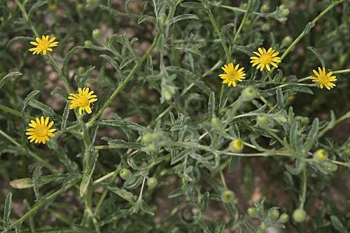 Malas hierbas difíciles en el olivar: margaritas - Página 2 File_110