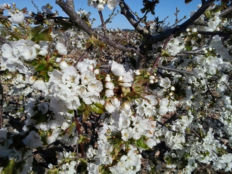 Primavera, cerezos en flor. 20170410