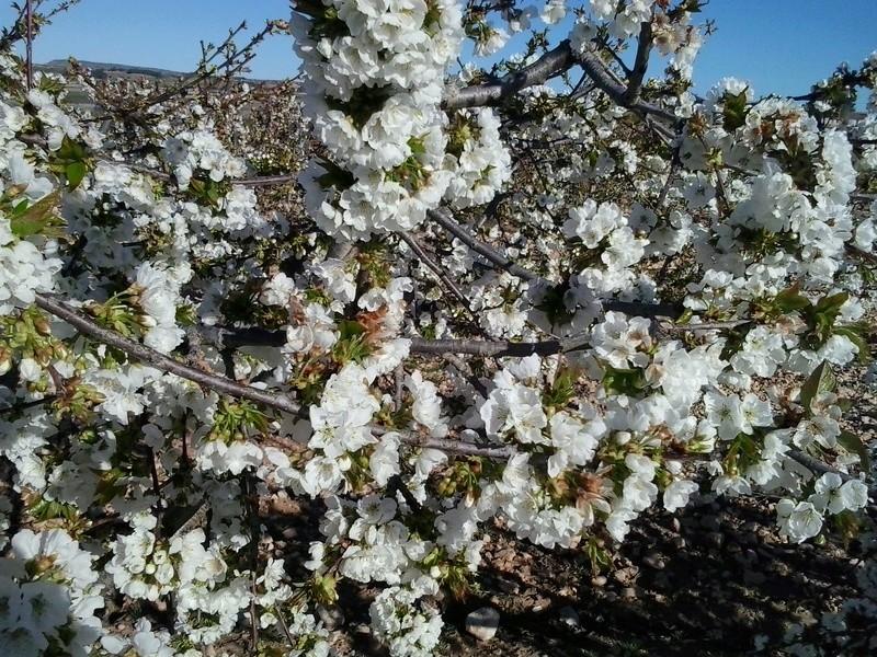 Primavera, cerezos en flor. 20170411