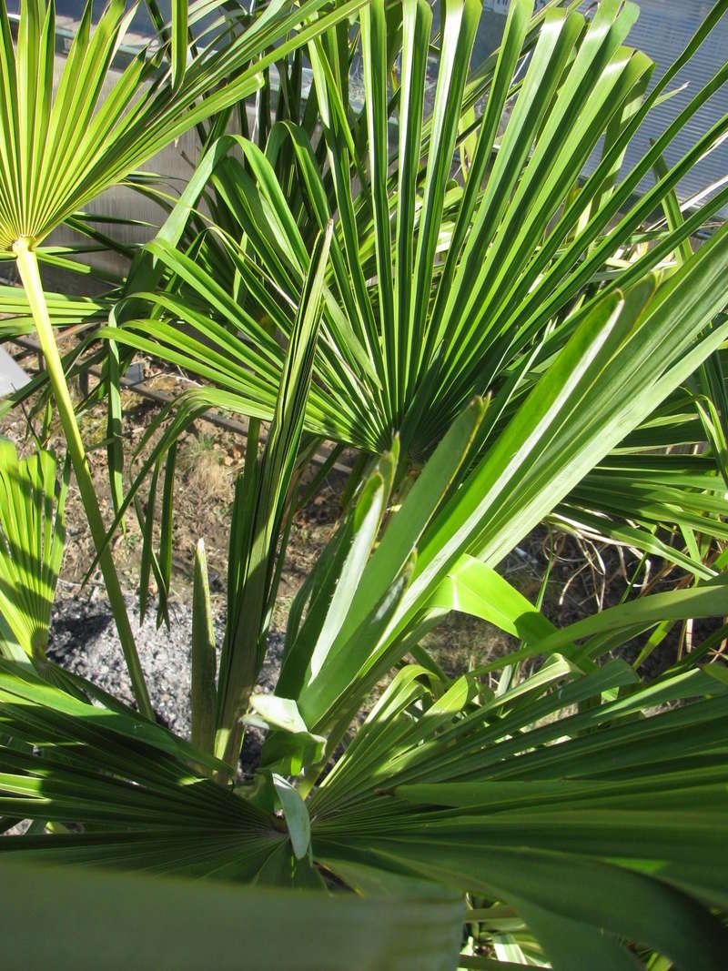 Trachycarpus fortunei, část 2 - Stránka 3 Img_0411