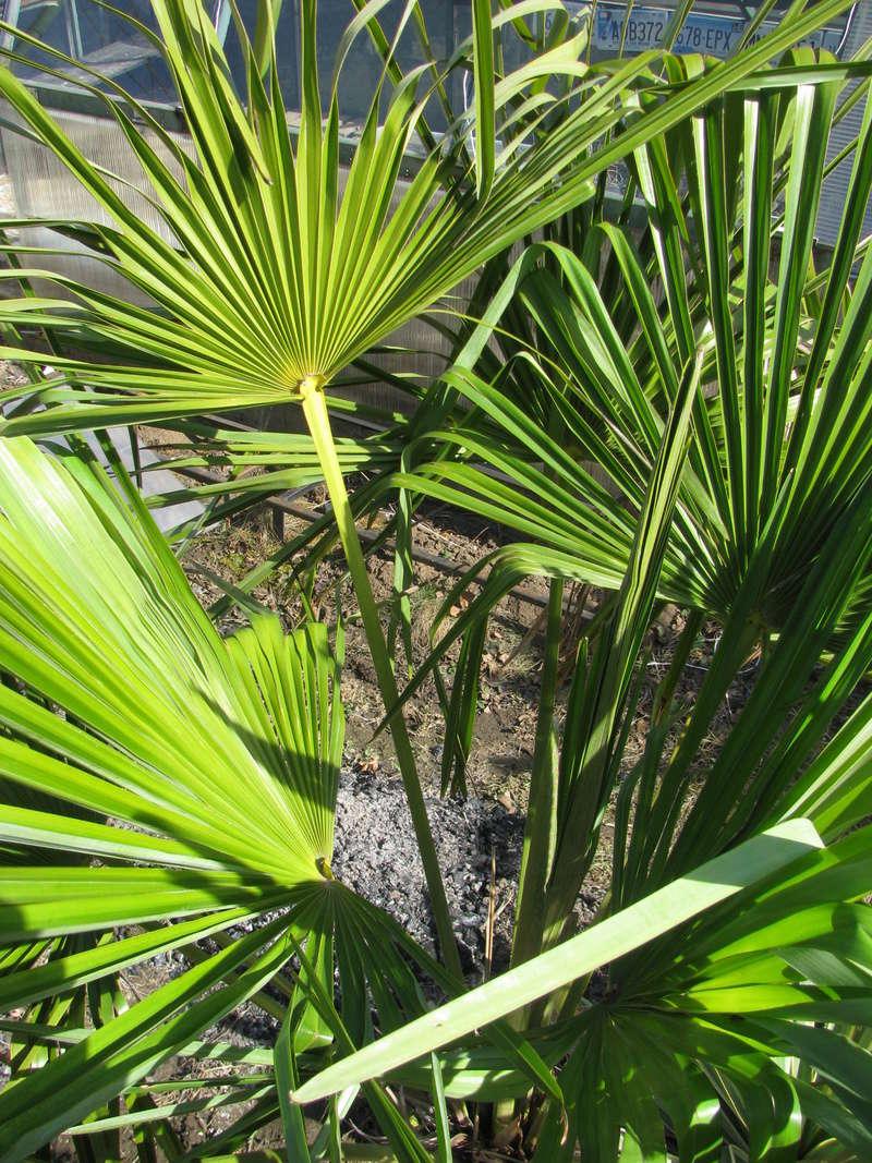Trachycarpus fortunei, část 2 - Stránka 3 Img_0412