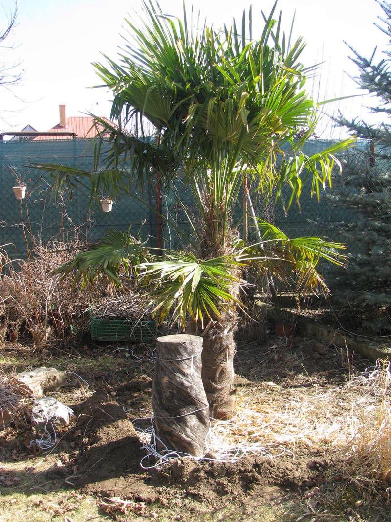 Trachycarpus fortunei, část 2 - Stránka 3 Img_0413